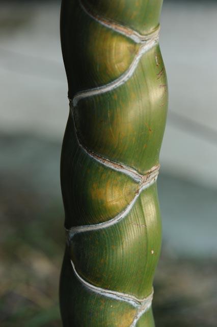 Canne de bambou à carapace de tortue
