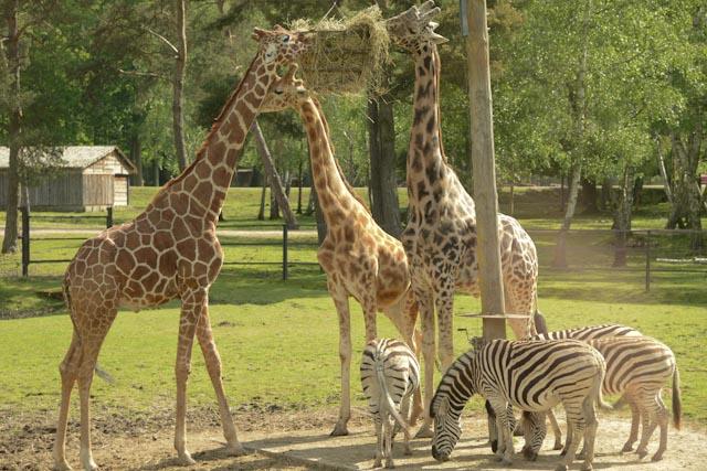 Les girafes (Giraffus camelopardalis) sont souvent accompagnées de zèbres et de gnous au ZooSafari de Thoiry.