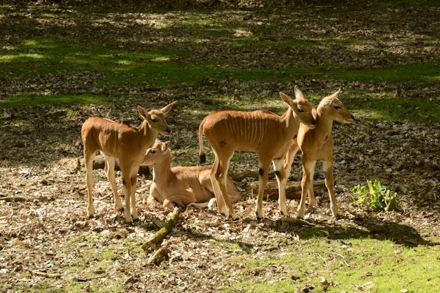 L'élan du Cap (Tragelaphus oryx) est la plus grandes des antilopes. Ses petits sont souvent élevés en groupe comme ici.