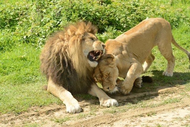 Le lion et la lionne se frottent la tête en guise de travaux d'approche.