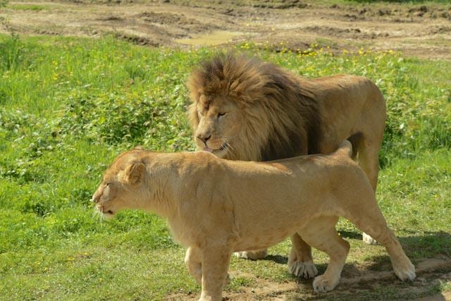 le lion et la lionne sont maintenant debout côte à côte.