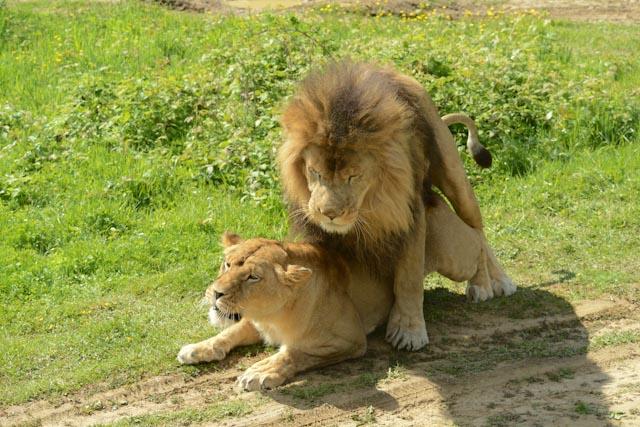 La lionne se couche et l'accouplement commence.