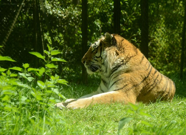 Le tigre au profil fier du safarizoo de Thoiry