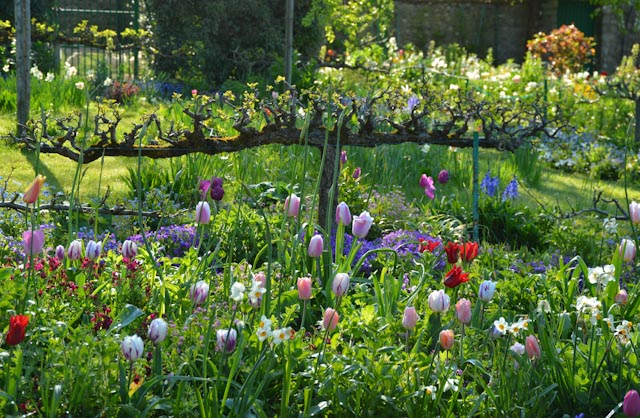 Dans le jardin devant la maison de Claude Monet, des pommiers en cordon bordent les parterres de fleurs bulbeuses.