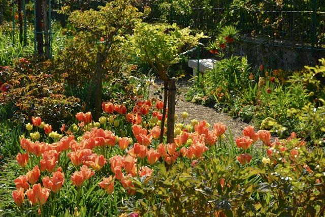 Tulipes et iris de Hollande au pied des rosiers tiges qui donnent du relief aux parterres du Clos Normand dans les jardins de Monet à Giverny.