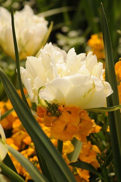 Giroflée ravenelle orange et tulipe double immaculée.
