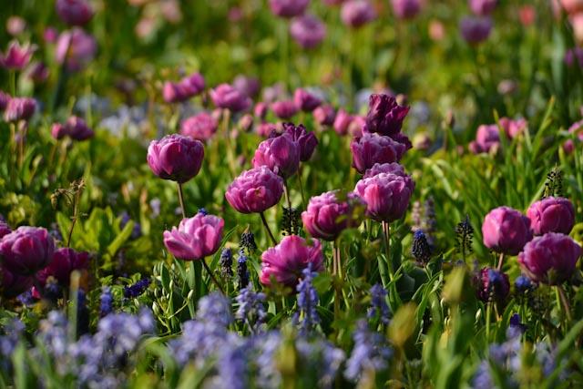 Tulipes à fleurs de pivoine à peine écloses.