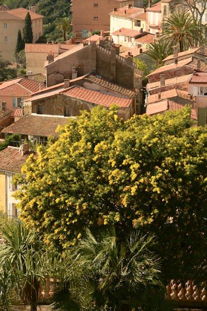 Mimosa dans un jardin - belle vue sur les toits de tuile de Bormes-les-Mimosas (83)