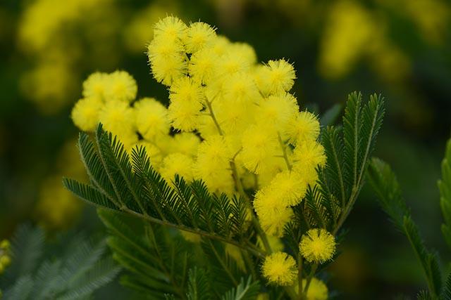 Mimosa en fleurs (Acacia dealbata)