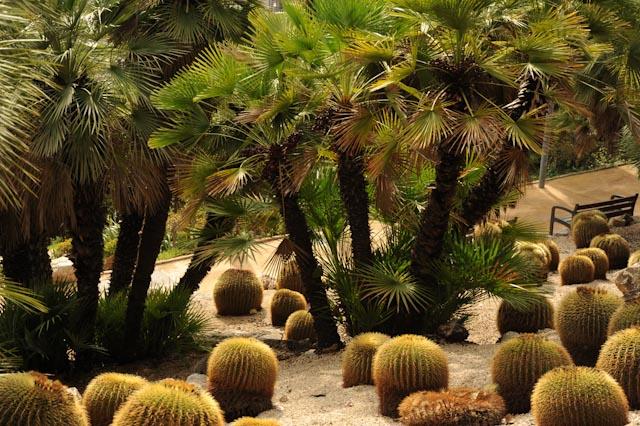 Ensemble de coussins de belle mère (Echinocactus grusonii) qui donnent la sensation de dévaler la pente en serpentant entre des palmiers.