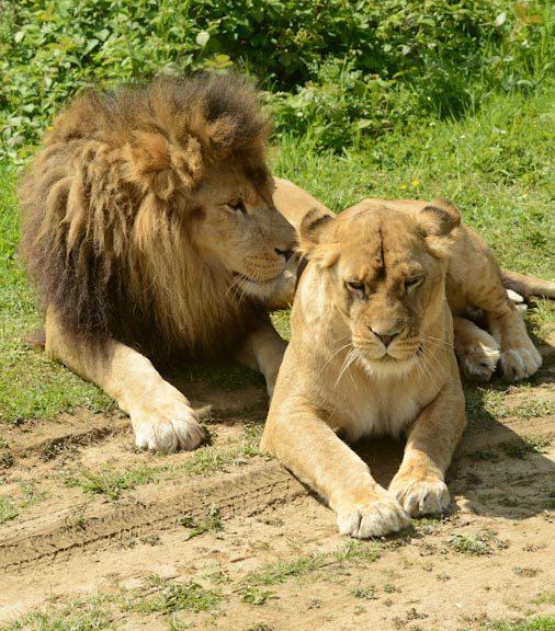 le lion et la lionne assis côte à côte