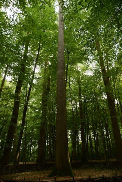 le chêne Boppe au centre parmi les autres spécimens remarquables de la futaie des Clos dans la forêt de Bercé.