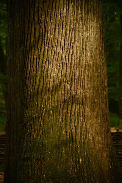 L'écorce grisâtre et fissurée finement et longitudinalement du chêne rouvre.