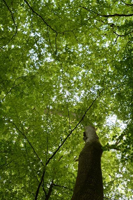 Les frondaisons vert tendre des frondaisons des chênes géants de la forêt de Bercé.
