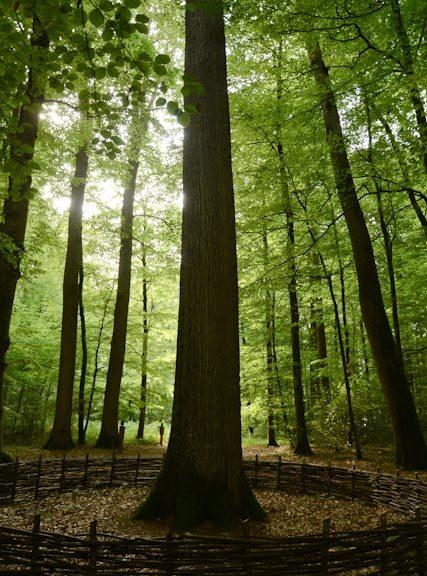 Chênes sessiles ou rouvres réunis en futaie (forêt de Bercé)